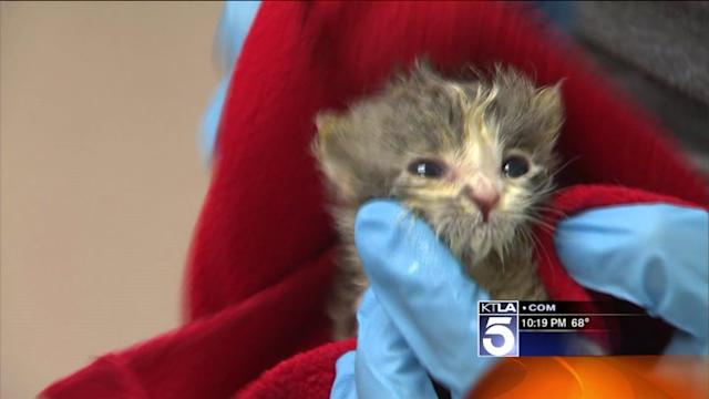 Neonatal Nursery Saves Hundreds of Helpless L.A. Kittens