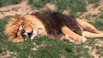 Lion Roars During Sleep Thanks to Wild Dreams