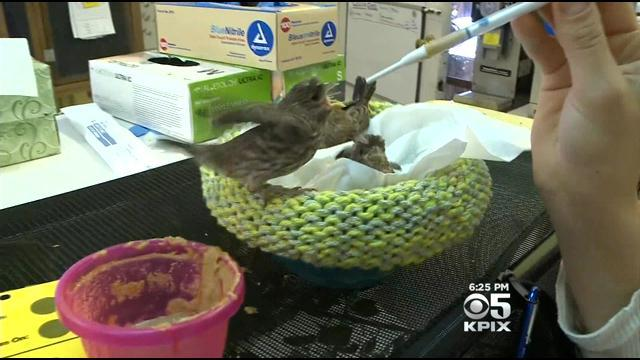 Volunteers Provide Knitted Nests To Help Rehabilitate Abandoned Bird Chicks In San Rafael