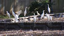 Flocks of egrets menacing Houston neighborhood