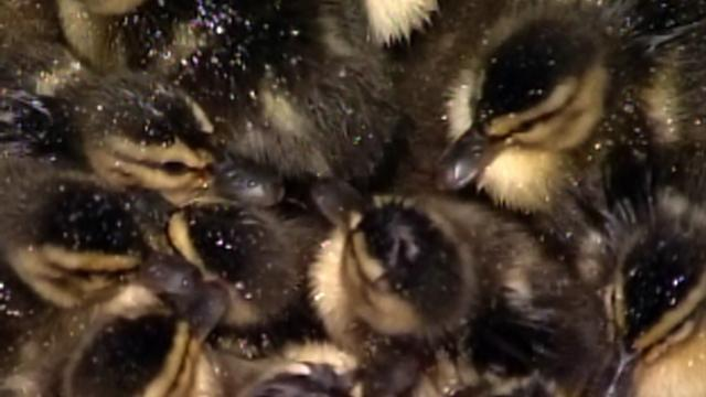 Lost ducklings rescued by news reporter