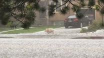 Pig Caught Randomly Running Through Streets During Hailstorm