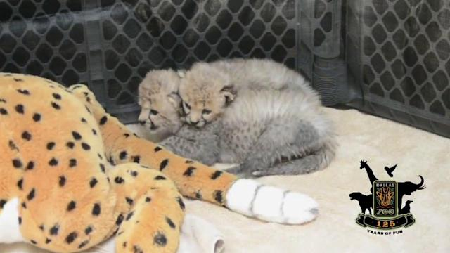 Dallas Zoo welcomes 2 cheetah cubs, puppy