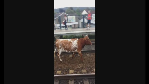 Cow on the train tracks in Somerset