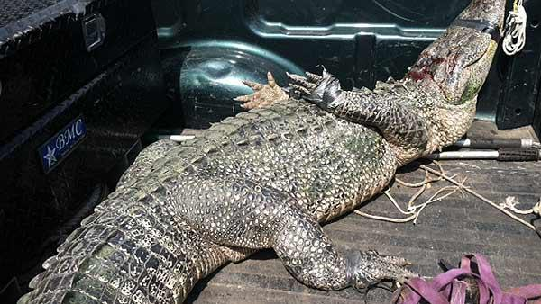 Gator gets cozy with Fort Bend County homes