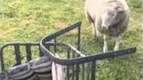 Winter the Lamb Doesn't Like Lawn Chairs