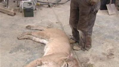 Man Kills Mountain Lion In Ray County