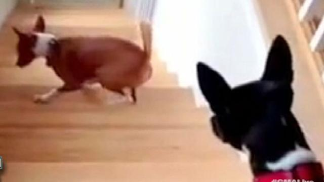 Dog Walks Backwards Up Stairs