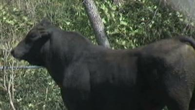 Officers With Lassos Catch Loose Bull in Texas