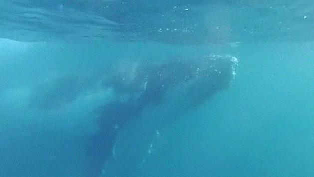 Gold Coast man swims with whales