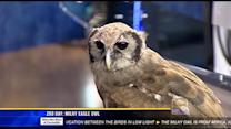 Zoo Day: Milky eagle owl