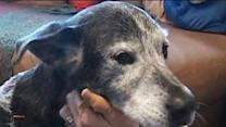 Virginia Dog Gets Acupuncture for Pain