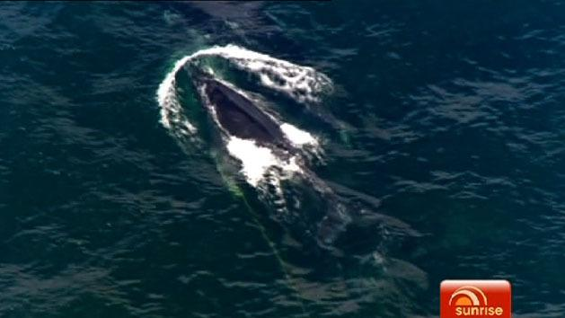 Baby whale rescue operation resumes