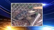 Girl finds alligator in Pennsylvania backyard