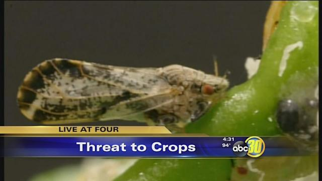 Asian Citrus Psyllid has Tulare County growers on edge